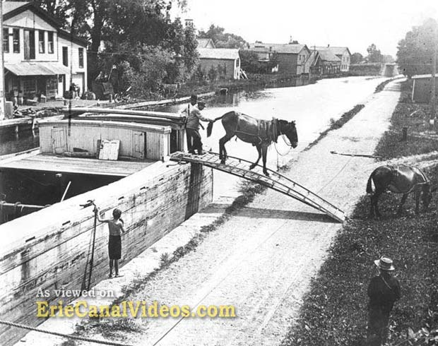 Erie Canal Mules – The Perfect Animal For the Job
